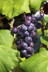 Purple Grapes Cluster