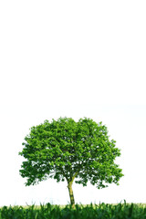 Single tree on white background