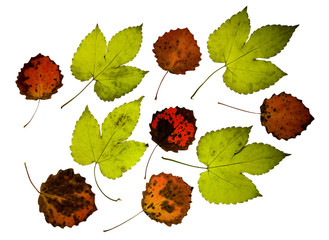 Set of leaves of wild vine bush and asp tree