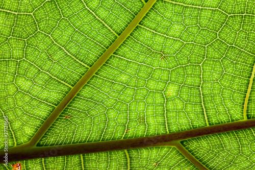 leaf veins detail green background © kikkerdirk