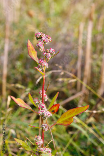 White goosefoot in autumn