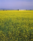 Canola Field And Old Farm Building In La Mancha