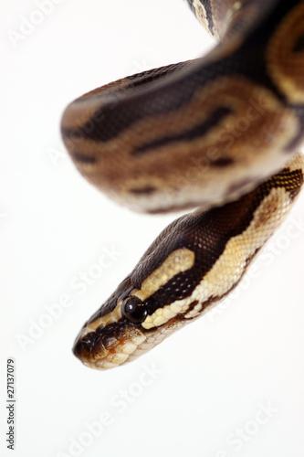 Royal Python - Ball Python - Python Regius