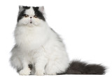 Persian Harlequin cat, 6 months old, sitting poster