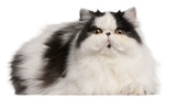 Persian Harlequin cat, 6 months old, lying poster