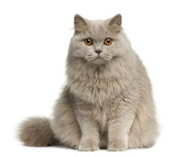 British longhair cat, 8 months old, sitting poster