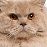 Close-up of British longhair cat, 15 months old poster