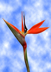 bird of paradise flower sky background