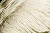Background texture of great white pelican feathers plumage poster