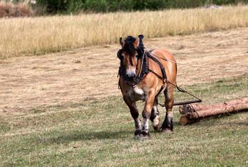 Ardenner Pferd beim Holzrücken