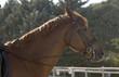 caballo holandes