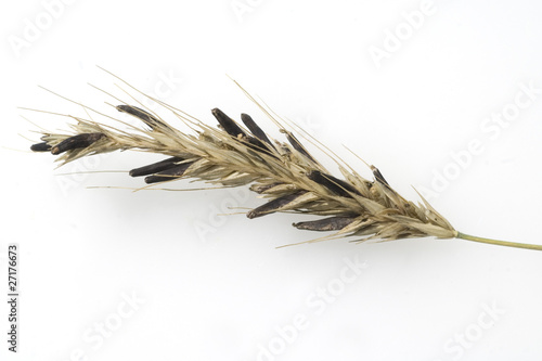 Mutterkornpilz; Claviceps purpurea