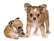 Two puppies of the chihuahua in studio