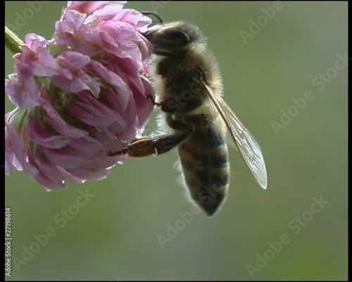 Bee, a close up
