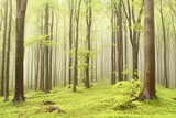 Spring beech forest with mist moving between the trees