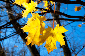 Yellow mapple leafs on tree
