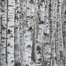 Birch Tree Forest Winter Background