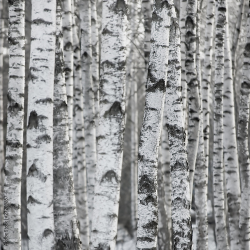 Winter Birch Tree Forest Background