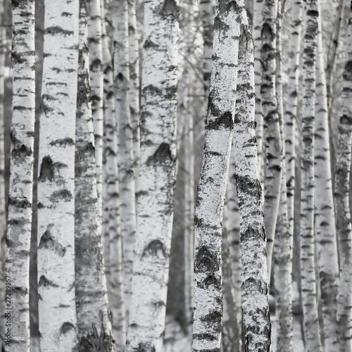 zimowy-brzoza-drzewo-las-tlo