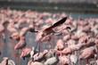 Phoenicopterus ruber (Lesser Flamingo) in flight