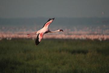Lesser Flamingo in flight at lake Nakuru, Kenya