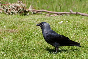 European Jackdaw on Summer Grass