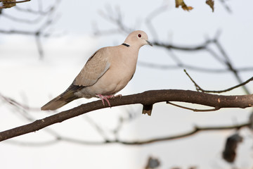 Collared Dove Perched on Branch Profile View