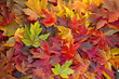 Maple Leaves Mixed Fall Colors Background 2 - 27221432