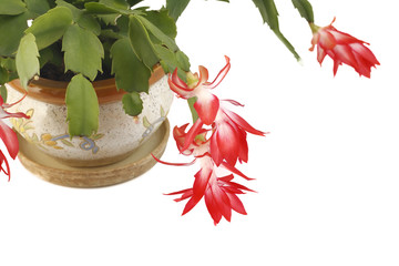 Zigokaktus flower in a pot