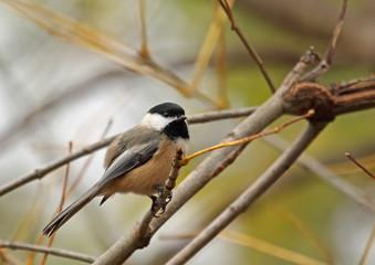 Black-capped Chickadee, Poecile atricapilla