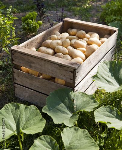 caisse de pommes de terre dans un jardin photo libre de droits sur la banque d 39 images fotolia. Black Bedroom Furniture Sets. Home Design Ideas