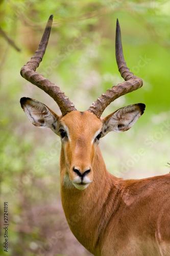 Foto op Canvas Antilope Gazelle Dama