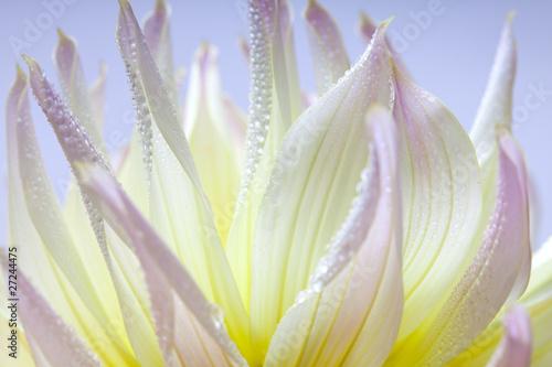 Obraz na Szkle Pastellfarbene Dahlie mit Tautropfen