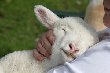 Lamb snuggling in
