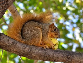 fox squirrel eating apple