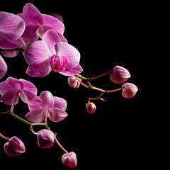 pink stripy backlit phalaenopsis orchid isolated on black