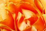 Fototapeta pomarańczowy - brzoskwinia - Kwiat