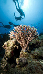 Divers and coral in the Red Sea.