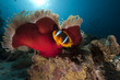 Anemonefish in the Red Sea.