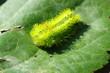 イラガの幼虫/トゲだらけ