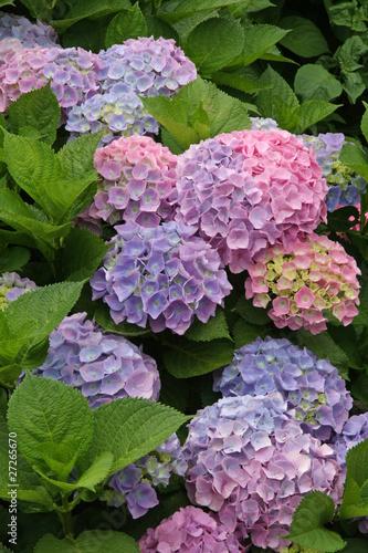 Papiers peints Hortensia hortensia bleu et rose