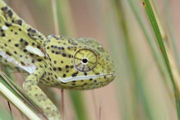 Lappenchameleon (Chamaeleo dilepis), Südafrika