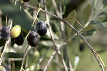 Branch with Olives