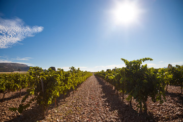 Ribera del Duero vineyard against sunlight