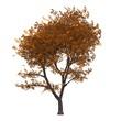 Der Baum im Herbst - freigestellt 01