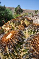 Kaktusy Fuerteventura