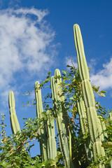 plante grasse (cactés)