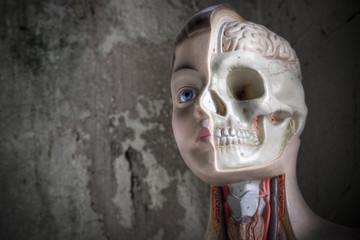 The head of an educational anatomy body.