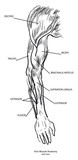 Arm Muscle Anatomy