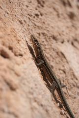 Lagartija comun (Podarcis hispanicus)